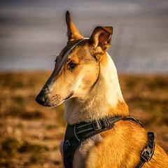 Fin (P.Höcherl) Tags: 2019 nikon d5300 tamron tamron16300mmf3563diiinafvcpzdmacro bokeh dog hund collie tier animal pet haustier kurzhaarcollie