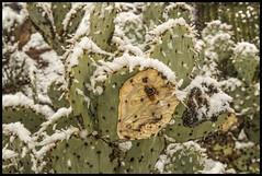 Tucson Snow #1 2019; Prickly Pear (hamsiksa) Tags: weather percipitation snow cold winter snowfall arizona southernarizona tucson plants flora succulents xerophytes cacti cactus cactaceae opuntia pricklypear snowinthedesert sonorandesert