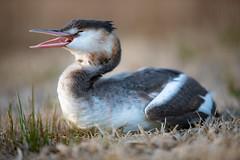 Hungry svassino (Cristiano Pelagracci) Tags: svasso fauna trasimeno umbria nature bird