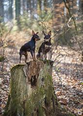 Dis moi Nestor, tu crois qu'ont nous observent ? (Philippe Bélaz) Tags: nestor ooligan pragois ratierdeprague animal animaux animauxdecompagnie bois brun chiens chocolat copains forêts souches