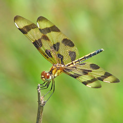 lady Halloween of July (Celithemis eponina) (Vicki's Nature) Tags: halloweenpennant female large dragonfly golden brown stripes wings biello georgia vickisnature canon s5 0307 celithemiseponina macro