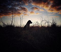 Twilight on the Meadow. (Fergus the Springer) Tags: workingspringer fergusthespringer fergus spaniel englishspringerspaniel springer gundog dogwalk dog pheasant dusk sunset shadow silhouette