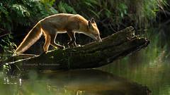 Maitre Renard (fribodo) Tags: renardeau mammifère renard contrejour