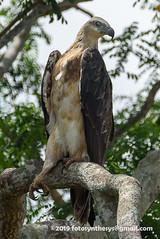 White-bellied Sea Eagle (Haliaeetus leucogaster), juvenile DSC_1016 (fotosynthesys) Tags: whitebelliedseaeagle haliaeetusleucogaster seaeagle eagle accipitridae raptor bird srilanka yala