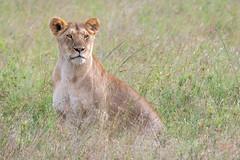 Observant Lion (helenehoffman) Tags: africa kenya conservationstatusvulnerable felidae mammal lion cat bigcat pantheraleo carnivore maasaimaranationalreserve animal