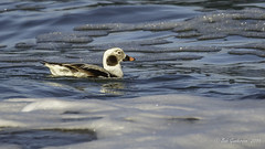 Long-tailed Duck - Adult Male (Winter) (Bob Gunderson) Tags: bakerbeach birds california clangulahyemalis divingducks ducks eiders longtailedduck northerncalifornia presidio sanfrancisco