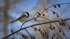 Chickadee (Jacques P Raymond) Tags: chickadee bird animal wildlife nature calgary alberta canada