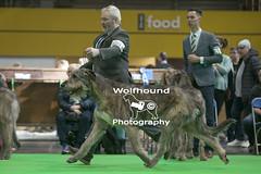 img_9999_357 (HoundPhotographer) Tags: irishwolfhound wolfhound hound crufts crufts2019 showdog dogshow