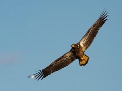 IMG_7646.jpg (jmfuscophotos) Tags: americanbaldeagle raptor newyorkstate wildlife birdofprey verplanck nature bird birds newyork eagle hudsonriver westchestercounty baldeagle ny