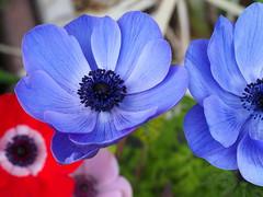 Poppy anemone flowers (Anemone coronaria, アネモネ) (Greg Peterson in Japan) Tags: ritto shiga takano japan flowers plants 滋賀県 栗東市 植物 花 shigaprefecture jpn
