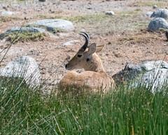 Bohor reedbuck (Mark Vukovich) Tags: bohor reedbuck tanzania antelope mammal