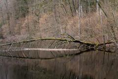DSC_6731 (stefanh.varberg) Tags: 16mars stackenäs fallenträdstam landsbygd landskap skogen spegling träd vattendamm