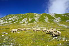 Gran Sasso, Central Italy Apennines (Claudio_R_1973) Tags: apennines sheep animal mountain nature landscape italia italy abruzzo centralitaly d800 fx