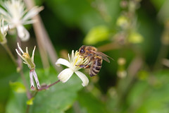 Biene 12.7.2011 (rieblinga) Tags: biene insekt makro wiese blüte nektar 1272011