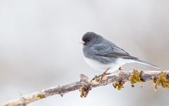 Dark-eyed Junco (Kyle Dudgeon) Tags: birding birds birdingworld birdsoftheworld bird canon eos 1d ngc nature nwr northeast wildlife watcher