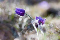 86/365 (misa_metz) Tags: nikon photo photography nature naturephotography lights bokeh outdoor plant flower flowers spring tokina macro blue colors color