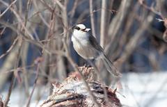 Canada Jay (Laura Erickson) Tags: saxzimbog stlouiscounty canadajay corvidae birds places species passeriformes minnesota grayjay perisoreuscanadensis perisoriuscanadensis