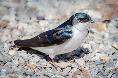 Gathering Nesting Material (tresed47) Tags: 2019 201903mar 20190328conowingobirds birds canon7dmkii conowingo content folder maryland peterscamera petersphotos places season swallow takenby treeswallow us winter