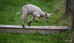 Joys of Spring (mootzie) Tags: grass green field farm lamb jumping joy aberdeenshire scotland natureaprilspring