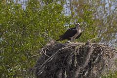 Ospreys on Nest (Stephen J Pollard (Loud Music Lover of Nature)) Tags: pandionhaliaetus raptor avedepresa averapaz birdofprey osprey águilapescadora bird ave