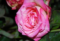 Christus, der uns selig macht (amras_de) Tags: rose rosen ruža rosa ruže rozo roos arrosa ruusut rós rózsa rože rozes rozen roser róza trandafir vrtnica rossläktet gül blüte blume flor cvijet kvet blomst flower floro õis lore kukka fleur bláth virág blóm fiore flos žiedas zieds bloem blome kwiat floare ciuri flouer cvet blomma çiçek