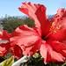 hibiscus flower against hills