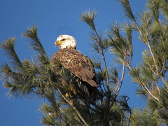 Bald Eagle In A Pine Tree (amyboemig) Tags: bald eagles pine tree turnersfalls ma winter march morning sunlight