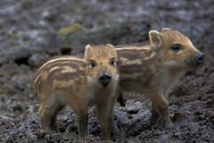 Wildschwein - Frischlinge (uwe125) Tags: springe wisentgehege boar wild animal frischling wildschwein säugetier tier