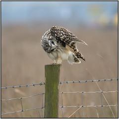 Short-eared Owl (image 2 of 3) (Full Moon Images) Tags: wicken fen burwell nt national trust wildlife nature reserve cambridgeshire bird birdofprey shorteared owl