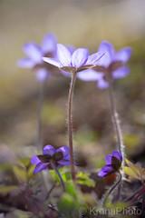 Anemone hepatica, Norway (KronaPhoto) Tags: macro 2019 vår natur dofnature dof bokeh makro macrophotography anemones blåveis blue tiny spring forest springmood