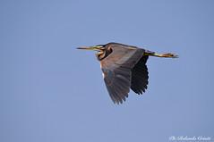 Airone rosso _014 (Rolando CRINITI) Tags: airone aironerosso uccelli uccello birds ornitologia avifauna mincio mantova natura curtatone