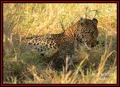 FEMALE LEOPARD AND HER CUB (Panthera pardus) ...MASAI MARA.....SEPT 2018. (M Z Malik) Tags: nikon d800e 400mmf28gedvr kenya africa safari wildlife masaimara keekoroklodge exoticafricanwildlife exoticafricancats flickrbigcats leopard pantheraparduc ngc