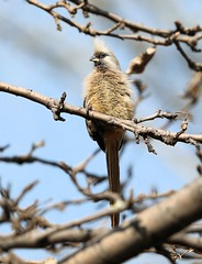 Speckled Mousebird (Larry Gridley) Tags: speckled mousebird