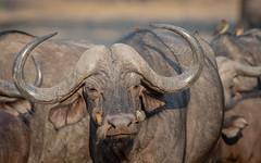 Cape Buffalo + Oxpeckers (tickspics ) Tags: africa zambia bovids lowerzambezi eventoedungulates capebuffalo artiodactyla africanbuffalo bovidae bovinae bovini mammalia southernsavannabuffalo synceruscaffer synceruscaffercaffer sspcaffer