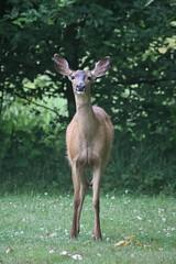 Black-tailed Deer (maritimeorca) Tags: animal billyfrankjrnisquallynationalwildliferefuge blacktaileddeer deer mammal odocoileushemionus thurstoncounty washington