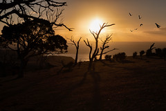 Land down under (cheezepleaze) Tags: corella sunset coast southaustralia dusk night sea trees birds hss lightrays silhouette
