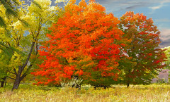 Lover's Leaning Tree And The Maples In The Grove (michael_e437) Tags: lovers leaningtree autumn fall legend folklore mystery love romance farm farmgrove maples changing field abandoned sunsetting path colorful catchycolors woods pasture fieldgrass backtonaturre