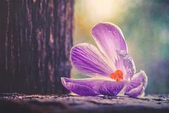 Crocus (Ro Cafe) Tags: stilllife flower crocus garden rain drops wood backlight textured nikkor105mmf28 nikond600