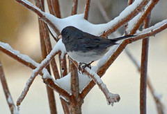 Dark-eyed Junco (ctberney) Tags: darkeyedjunco juncohyemalis sparrow bird winter backyard snow ice ontario canada nature