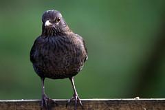 Female Blackbird. (XPC1217) Tags: blackbird brown bird brockholes preston samlesbury canon canon6d lancashire
