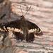 Mount Afadjato peak butterfly