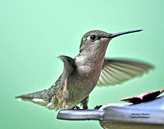 Hummingbird (richardbmarlow) Tags: nature bird hummingbird outdoors wild