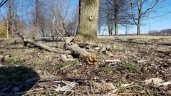 Chestnut Oak (dankeck) Tags: quercusmontana fagaceae rockoak fallen branch limb stormdamage winddamage ohiostate theohiostateuniversity arboretum chadwickarboretum columbus ohio centralohio franklincounty