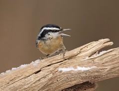 Back Off! (Slow Turning) Tags: sittacanadensis redbreastednuthatch bird perched log wood snow expression aggression reaction winter southernontario canada