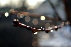 Изображения 113 (ALEKSANDR RYBAK) Tags: изображения боке капли вода дождь макро крупный план ветка почки свет солнечный утро весна сезон погода природа images bokeh drops water rain macro closeup branch kidneys shine solar morning spring season weather nature