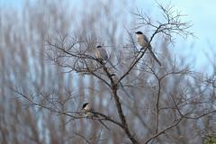 XT3B8936 (jojotaikoyaro) Tags: zenpukuji suginami tokyo japan bird animal nature wildlife fujifilm xt3 xf100400mm