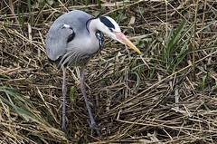 Heron (Mel Low) Tags: heron bird britishwildlife riverchet norfolkbroads nikond7000 nikon