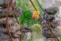 Orchids at the waterfall (a7m2) Tags: internationalorchidexhibition klosterneuburgabbey loweraustria orchideen flowers flora wasserfall blumen farne bromelien ausstellung austria