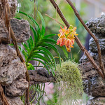 Orchids at the waterfall thumbnail