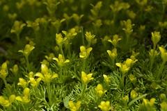 Yellow spring (Solista*) Tags: yellow żółty kwiat kwiaty flower flowers colourful colours kolory kolorowy plant rośliny wiosne spring trip walk hiking wędrówka spacer natura nature